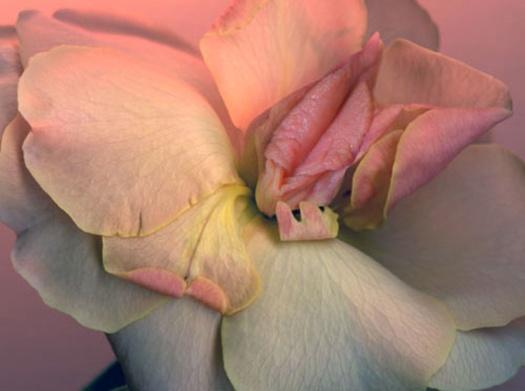 Rosa blomma som ser ut som en fitta